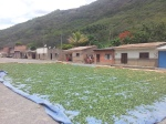 Coca leaves drying in the Yungas