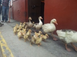 Ducks on parade, Cajamarca